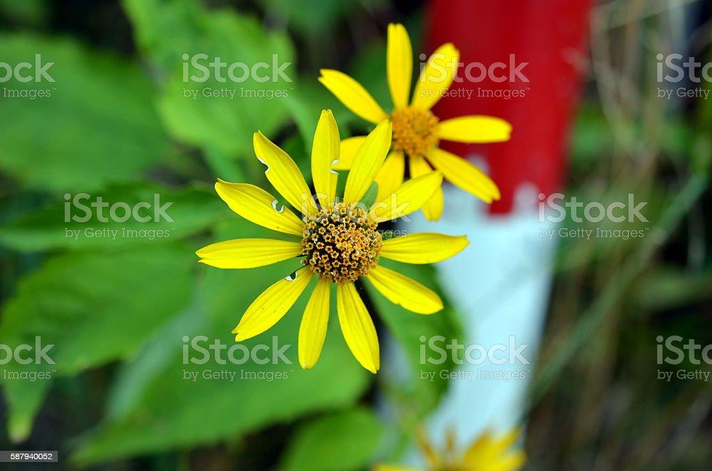 yellow jacobia vulgaris flower blossom stock photo