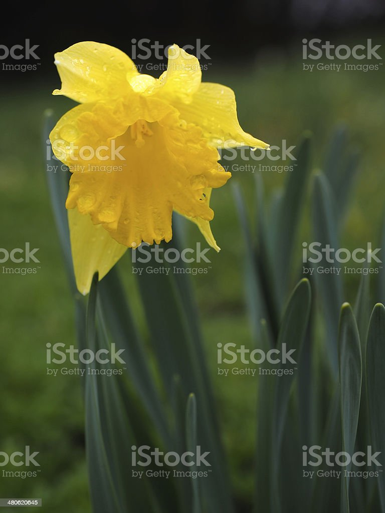 Yellow Jonquils on a spring morning in light rain stock photo