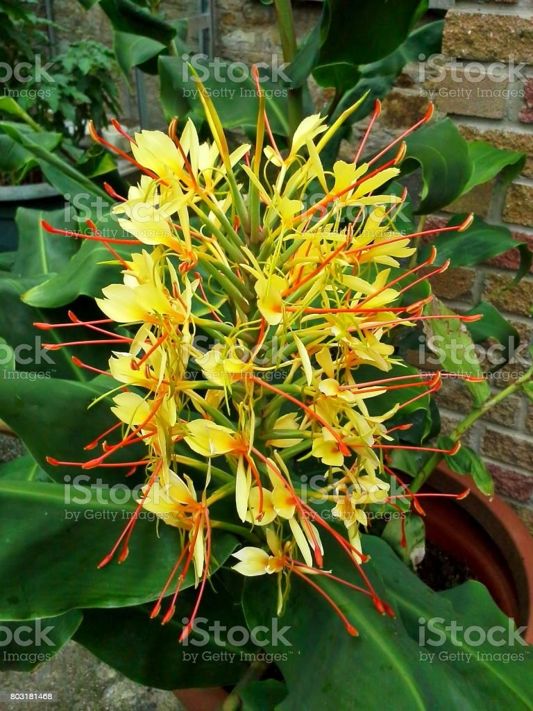 Yellow Kahili Ginger Lily Flower stock photo