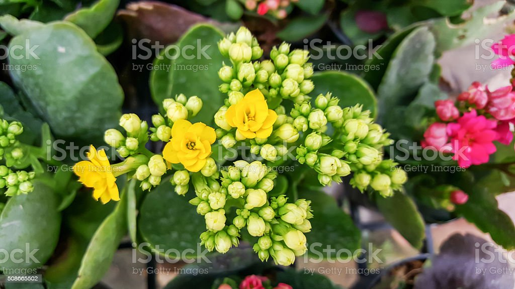 Yellow Kalanchoe Blossfeldiana flowers in the garden. stock photo