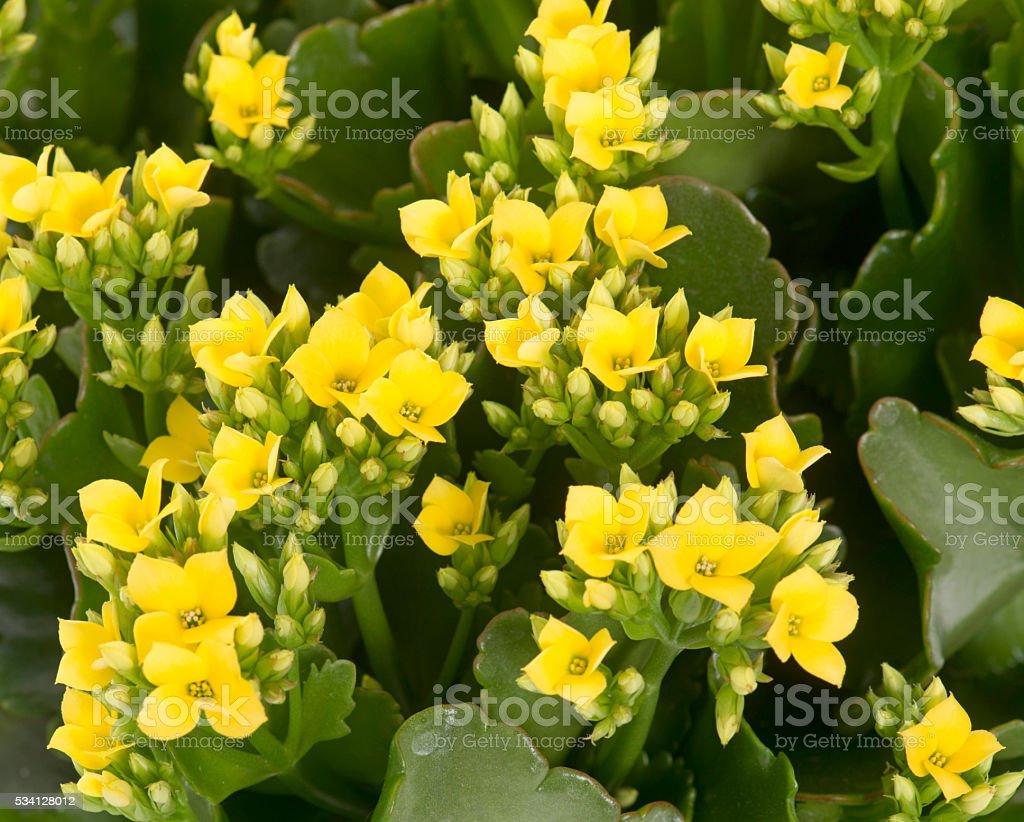 yellow Kalanchoe stock photo