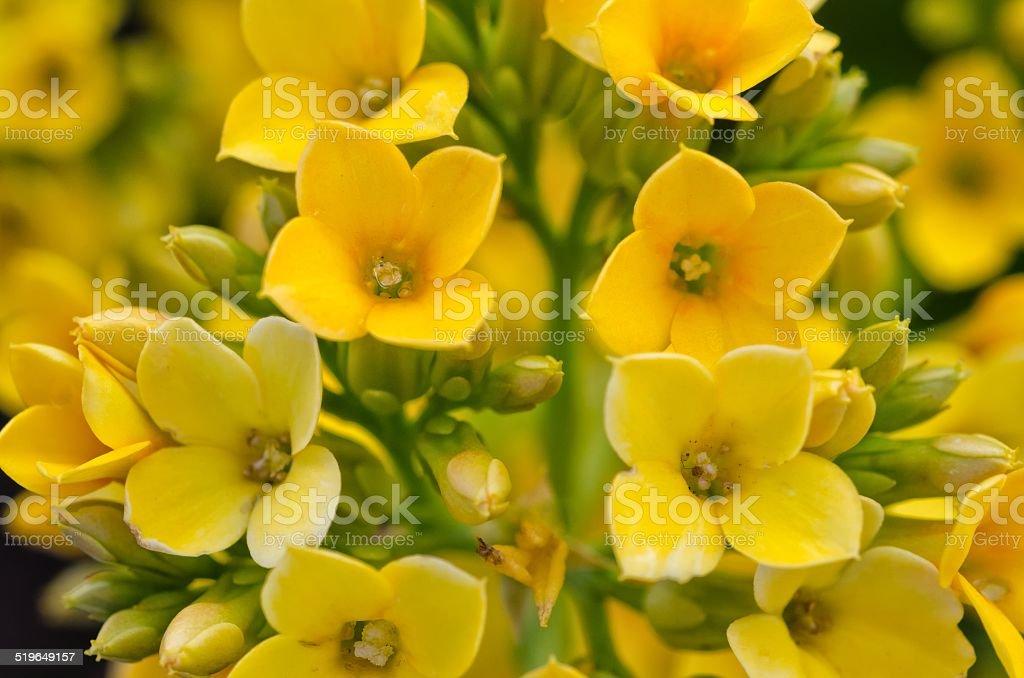 Yellow Kalanchoe / Succulent stock photo