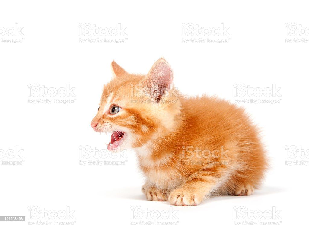 Yellow kitten crying on white stock photo
