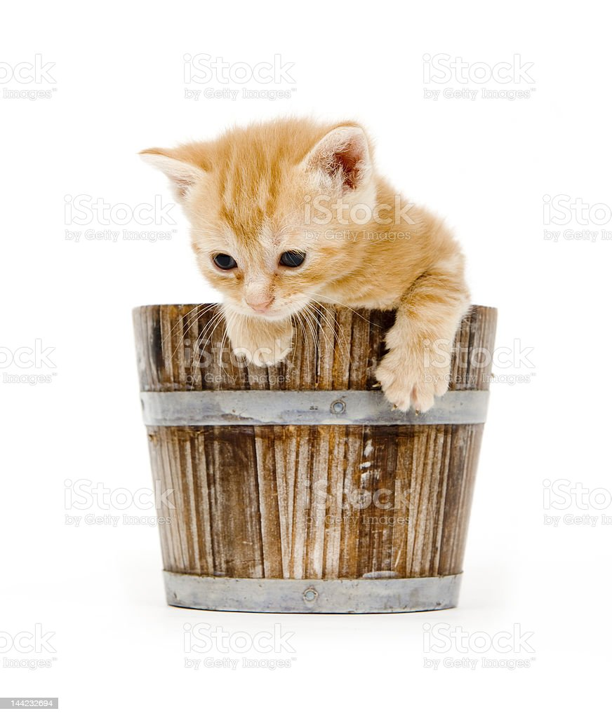 yellow kitten in a barrel royalty-free stock photo