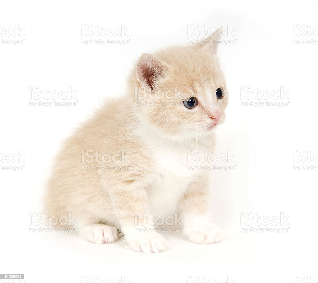 Yellow kitten on white background royalty-free stock photo
