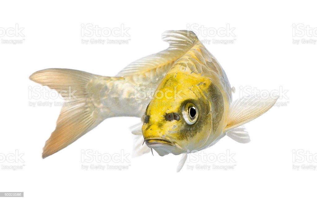 Yellow Koi ogon- Cyprinus carpio stock photo