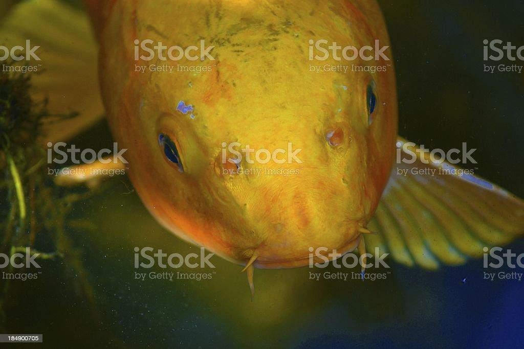 黄色の鯉 ロイヤリティフリーストックフォト