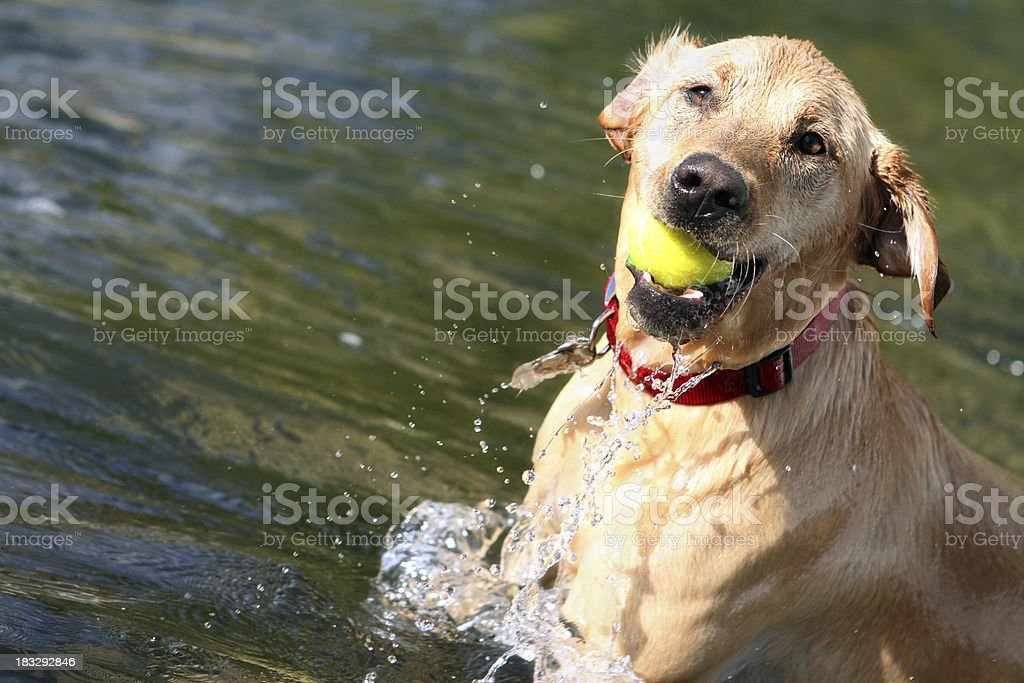 Yellow Lab In Action royalty-free stock photo
