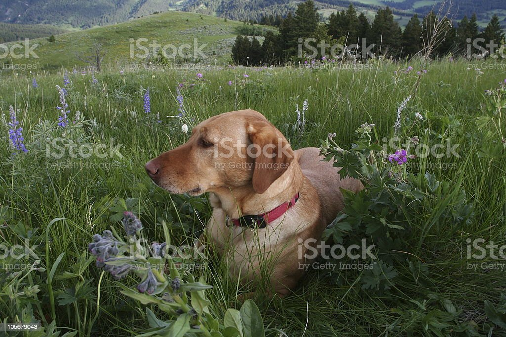 Yellow Lab in the Rockies stock photo