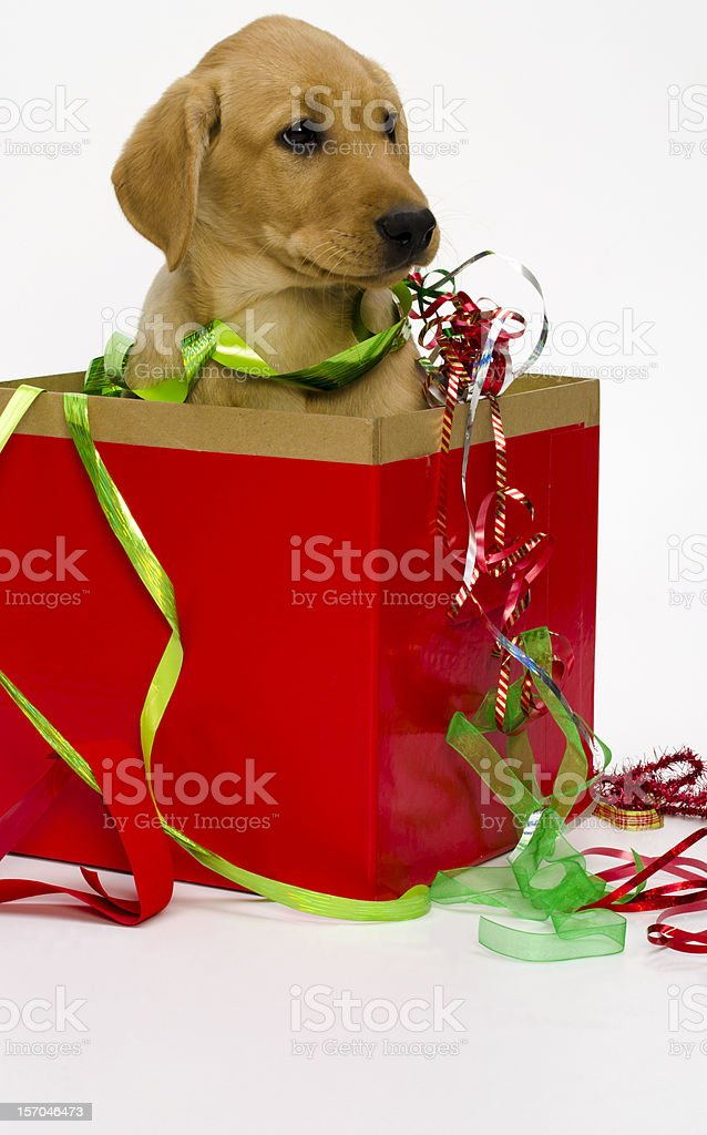 Yellow Lab Puppy in Christmas Box w/ribbon-isolated on white stock photo