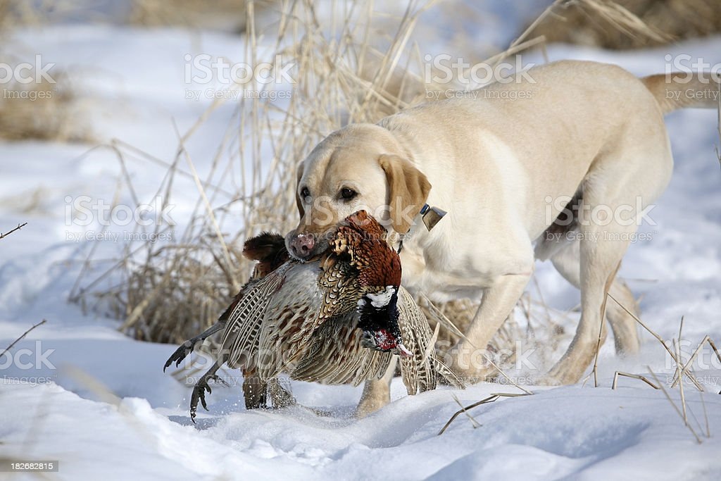Yellow lab retrieving a pheasant. stock photo