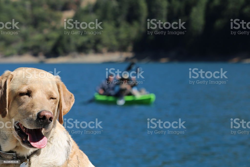 yellow lab with collar at the lake stock photo