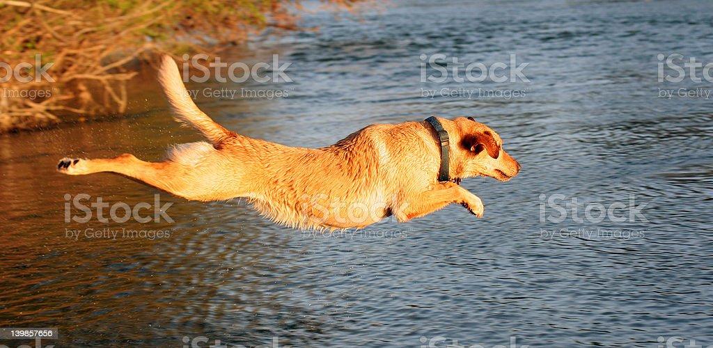 Yellow Labrador Leaping Into the Lake stock photo