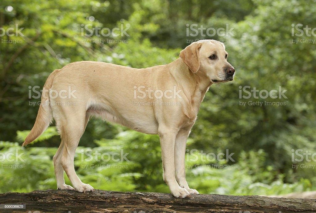 yellow labrador royalty-free stock photo