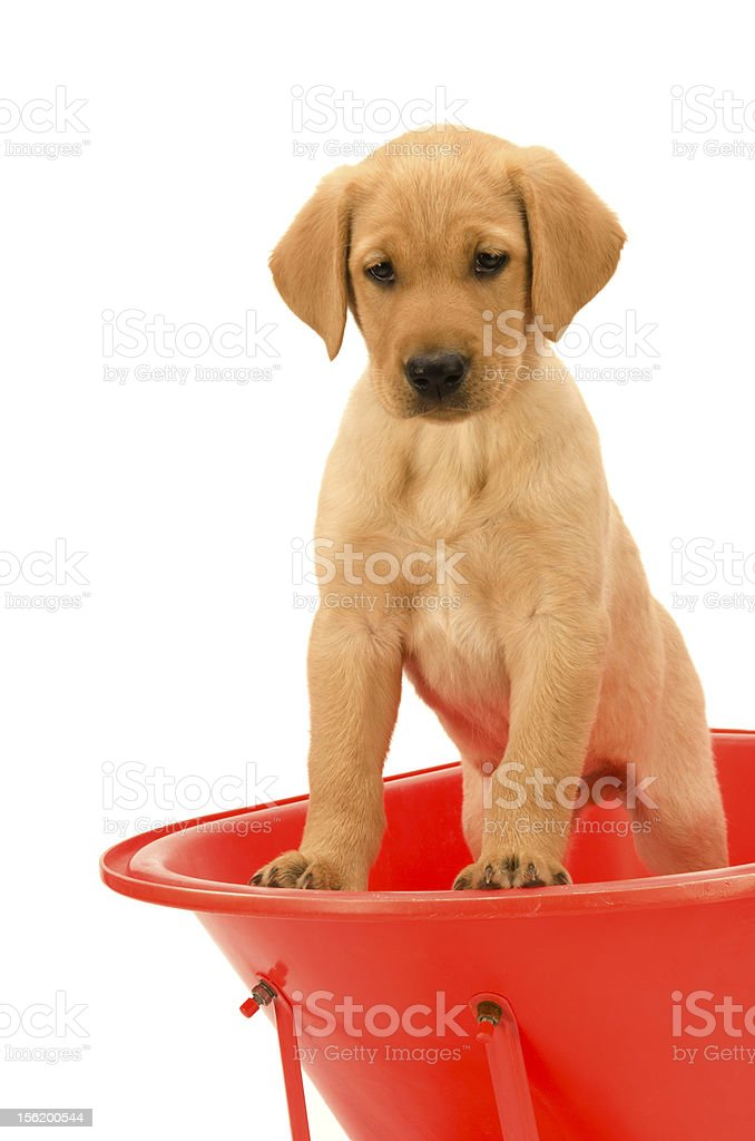Yellow Labrador Puppy standing in Red Wheelbarrow looking down stock photo