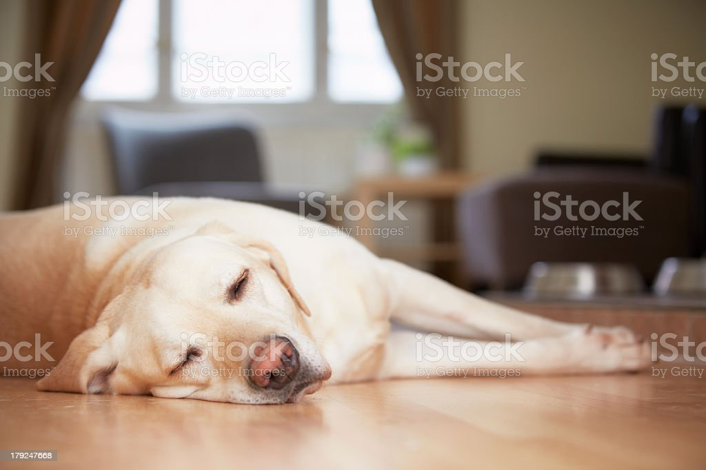 Yellow Labrador resting on a wooden floor at home stock photo