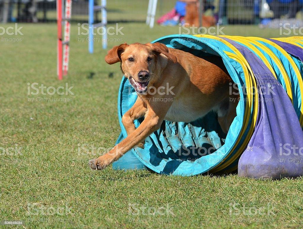 Yellow Labrador Retriever at a Dog Agility Trial stock photo