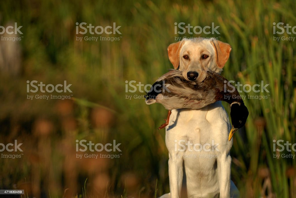 Yellow Labrador retriever carrying a dead duck in his mouth stock photo
