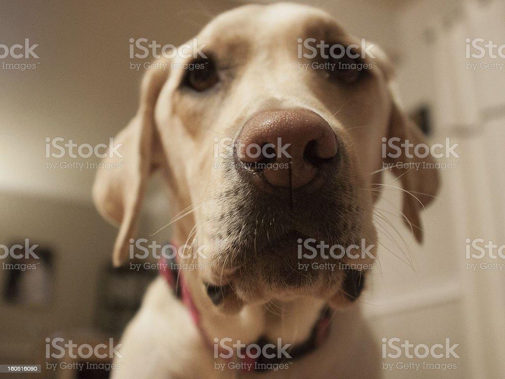 Yellow Labrador Retriever Closeup Portrait royalty-free stock photo
