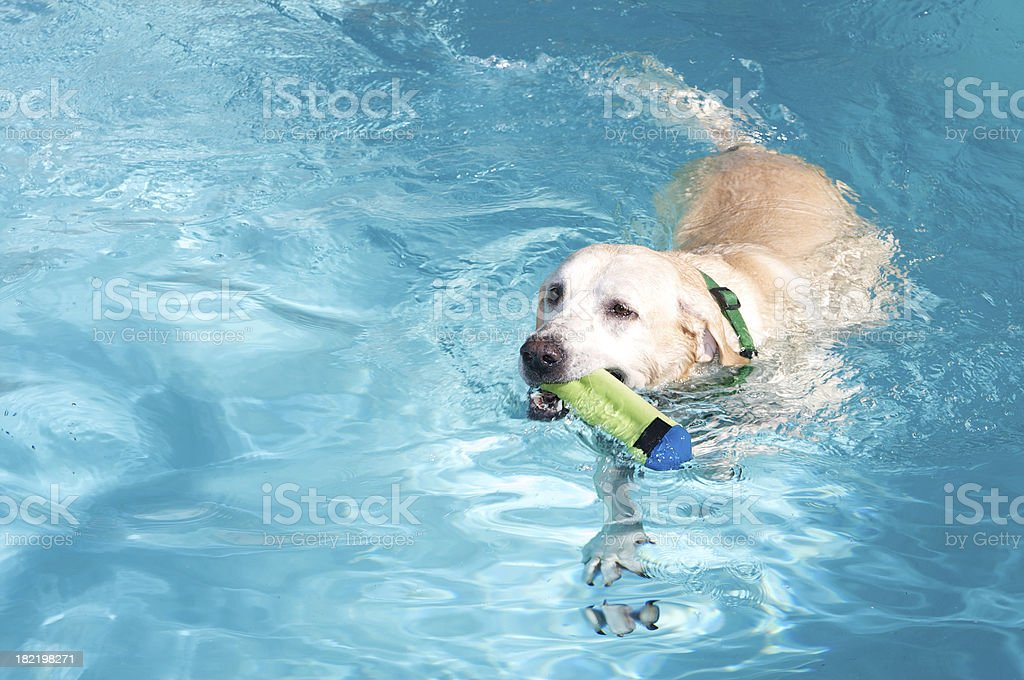 Yellow Labrador  Retriever Dog Swimming in Pool with Toy stock photo