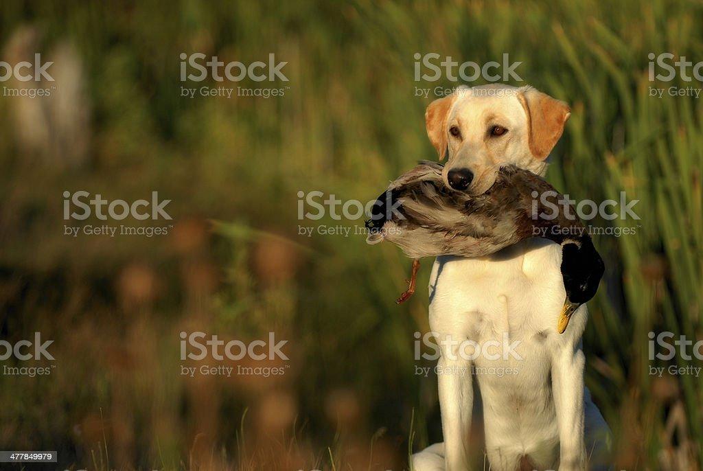 Yellow Labrador Retriever Hunting stock photo
