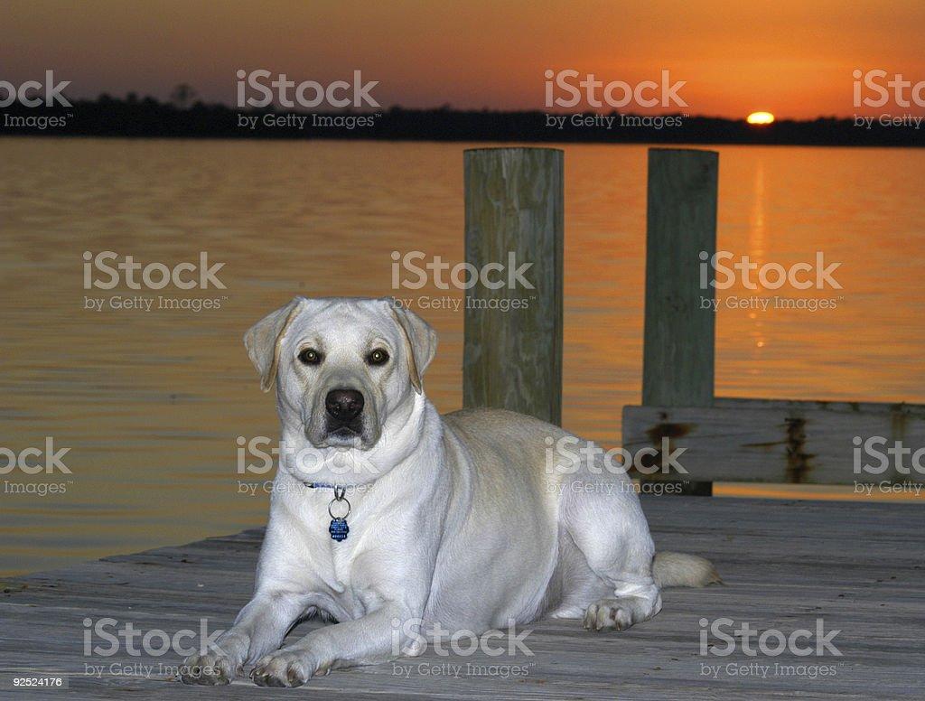 Yellow Labrador Retriever royalty-free stock photo