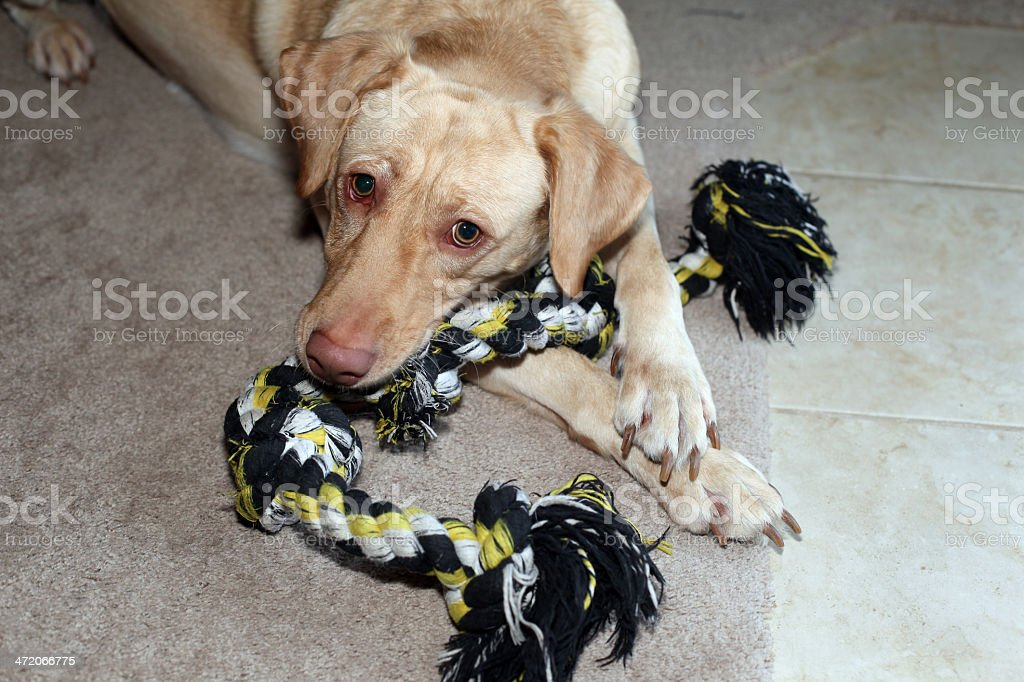 Yellow Labrador Retriever playing with pull-toy.  Horizontal.  Copy space. royalty-free stock photo