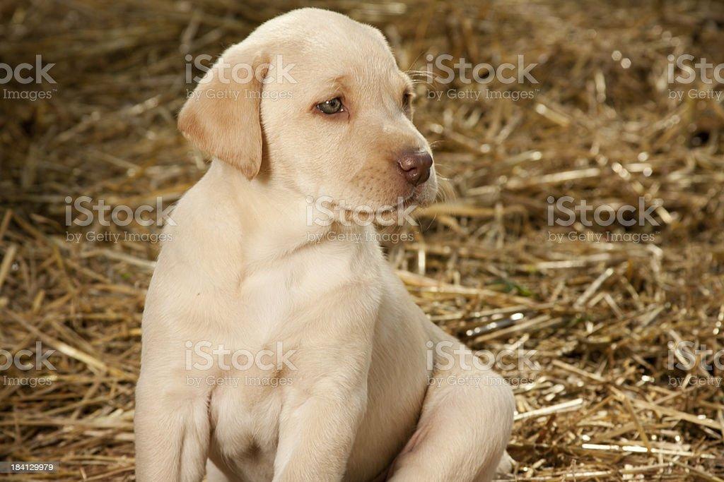 Yellow Labrador Retriever Puppy stock photo