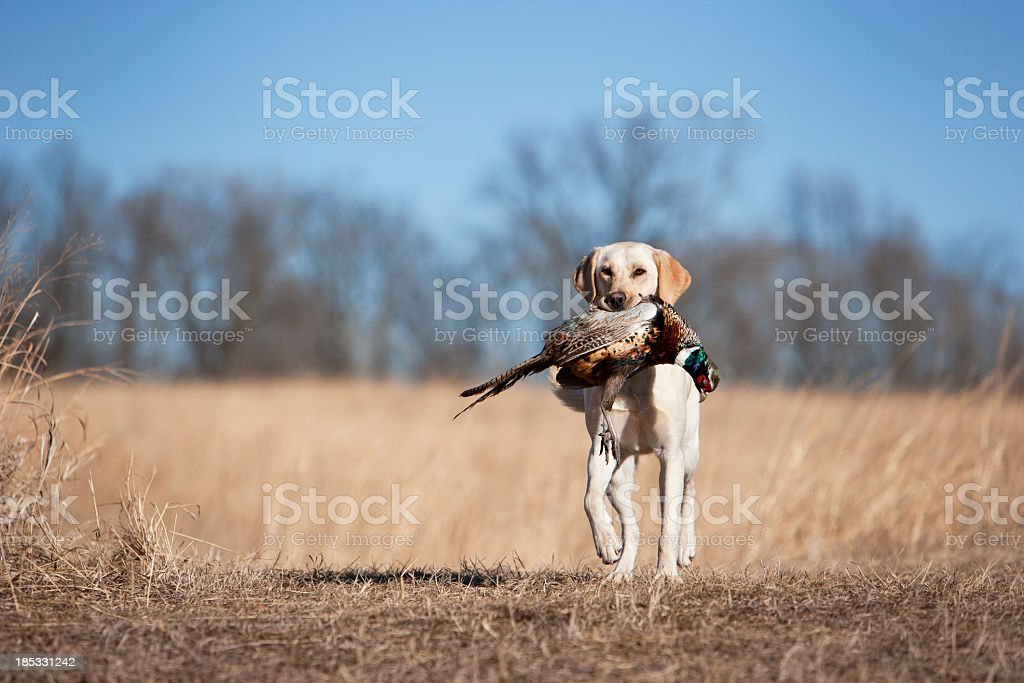 Yellow Labrador Retrieving a Rooster Pheasant in Midwest. stock photo