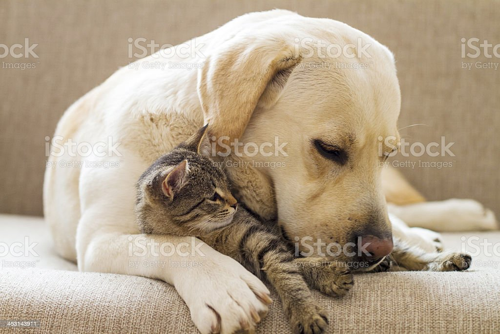 Yellow Labrador with a tabby cat on a sofa stock photo