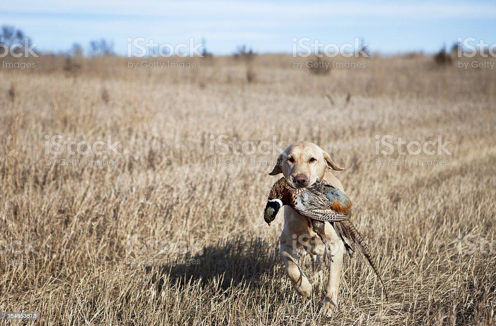 Yellow Labrador with Pheasant stock photo