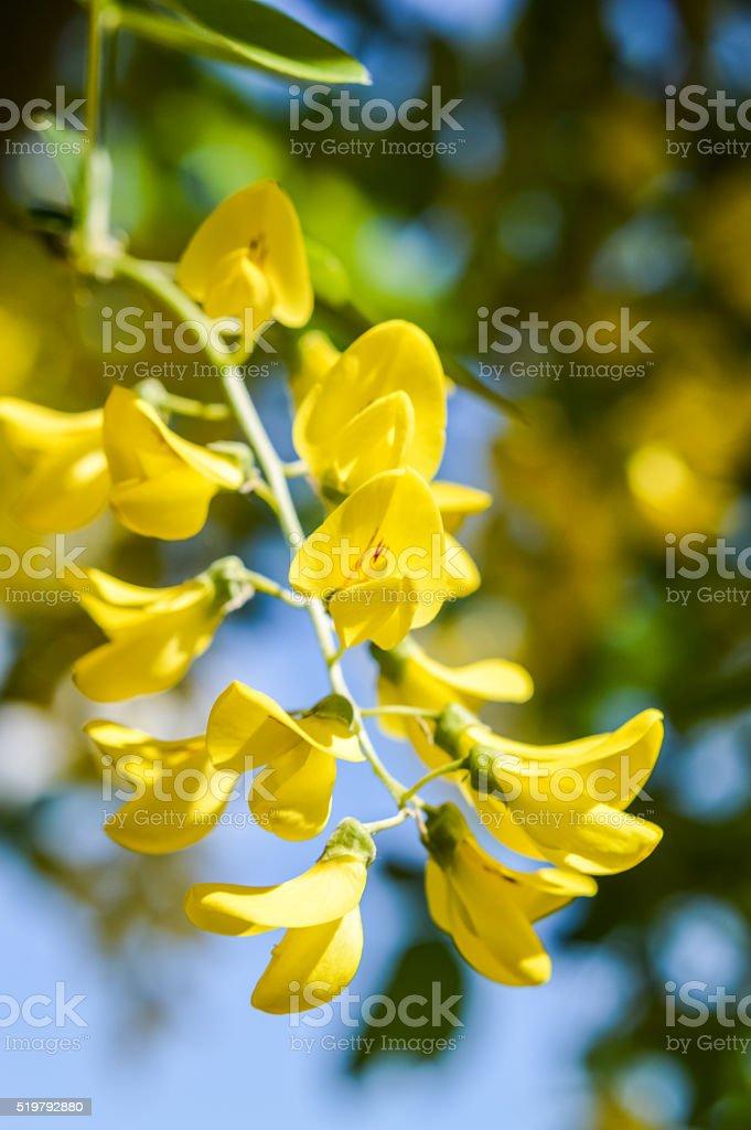Yellow laburnum flowers close up stock photo