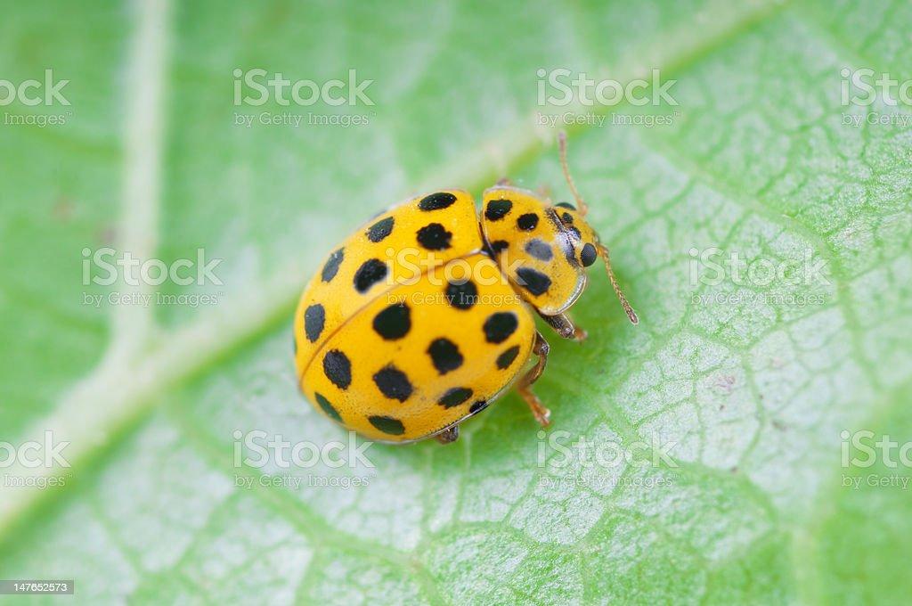 Yellow ladybird royalty-free stock photo