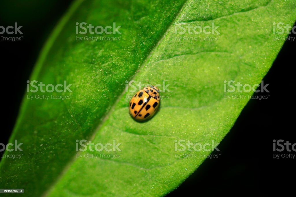 yellow ladybug on green leaf stock photo