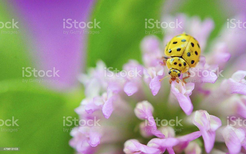 yellow ladybug on violet flowers stock photo