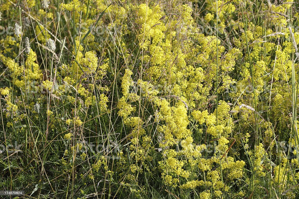 Yellow lady's bedstraw Galium verum in grassland meadow reserve royalty-free stock photo