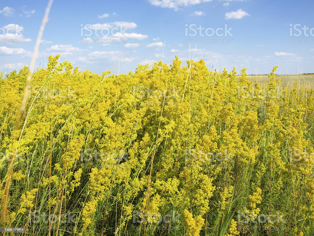 Yellow lady's bedstraw royalty-free stock photo