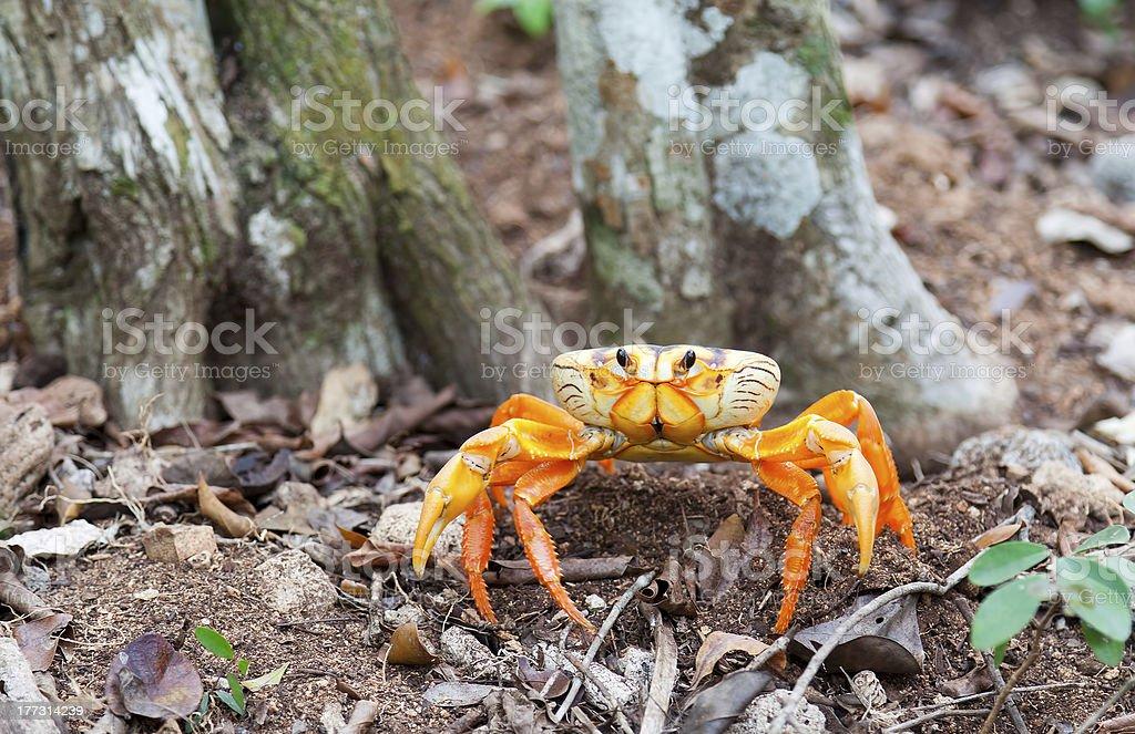 Yellow land crab in Cuba stock photo