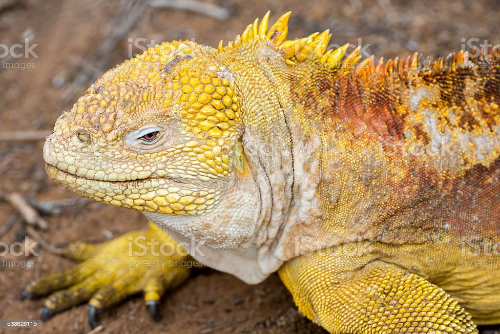 Yellow Land Iguana stock photo