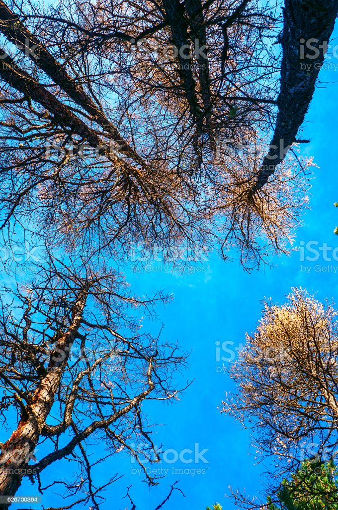 Yellow larch with blue sky in the background stock photo