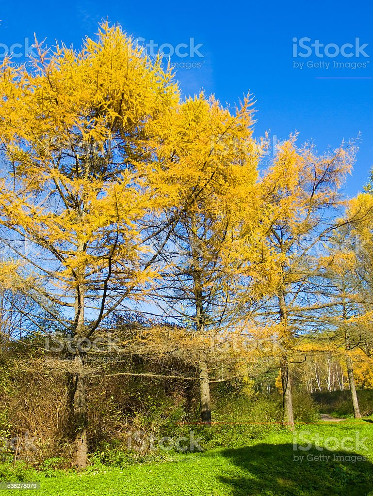 Yellow larches, autumn stock photo