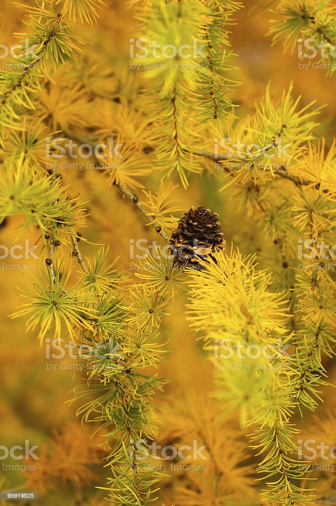 Yellow Larix branches stock photo