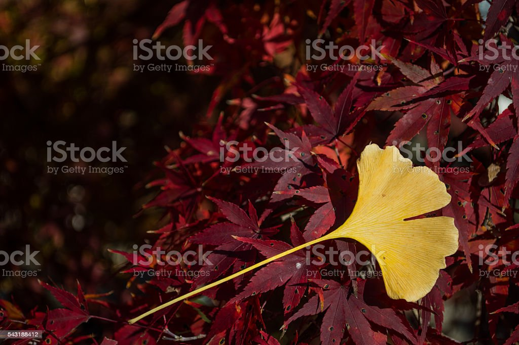 Yellow Leaf on red Maple stock photo