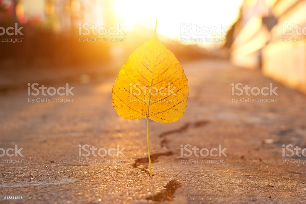 yellow leaf stab down on crack street in sunset background stock photo