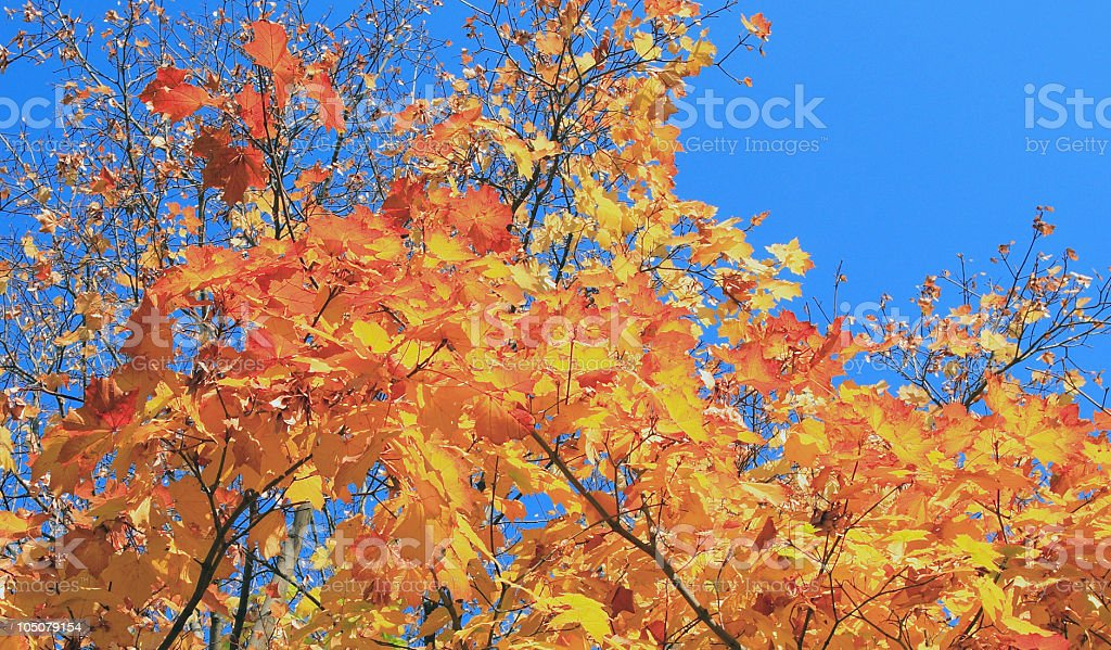yellow leafs on maple tree at gold fall royalty-free stock photo