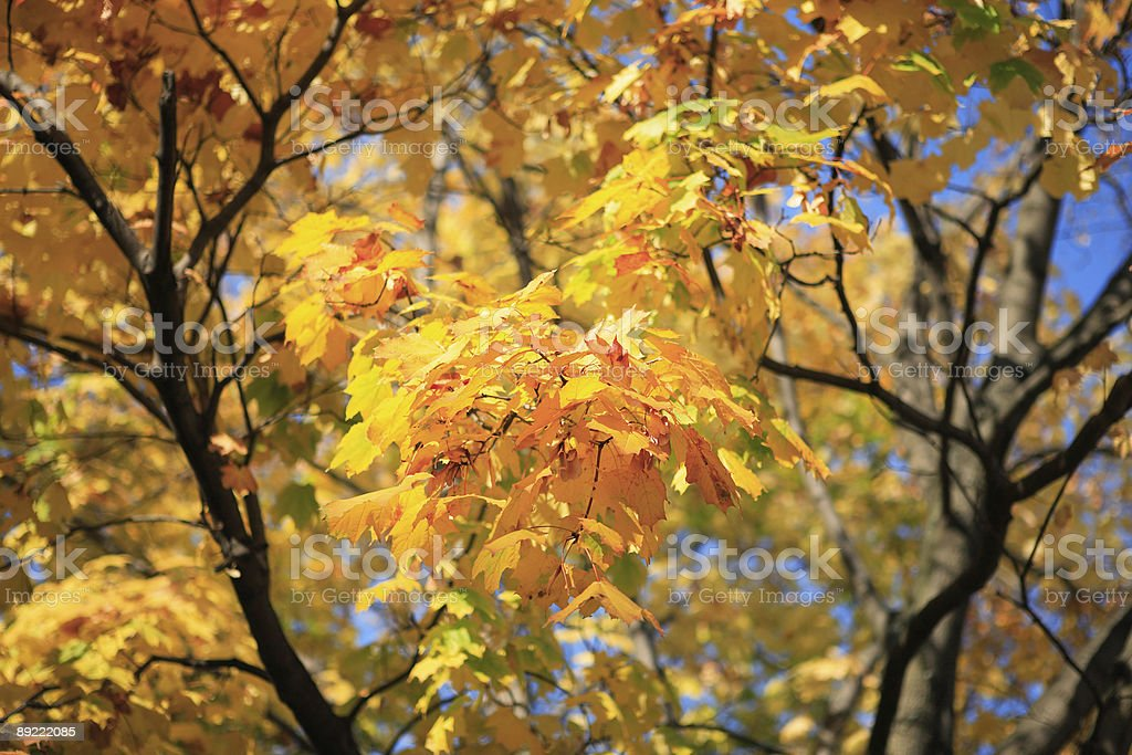 yellow leafs on tree royalty-free stock photo