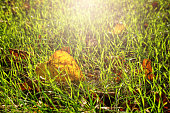 yellow leave and green grass