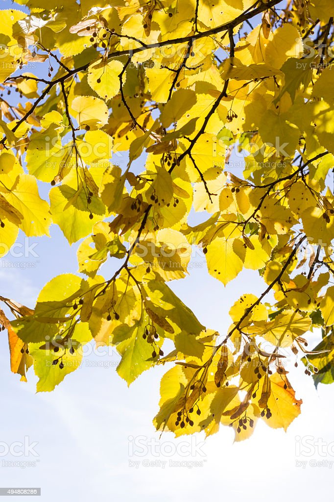 Yellow leaves against the sun stock photo