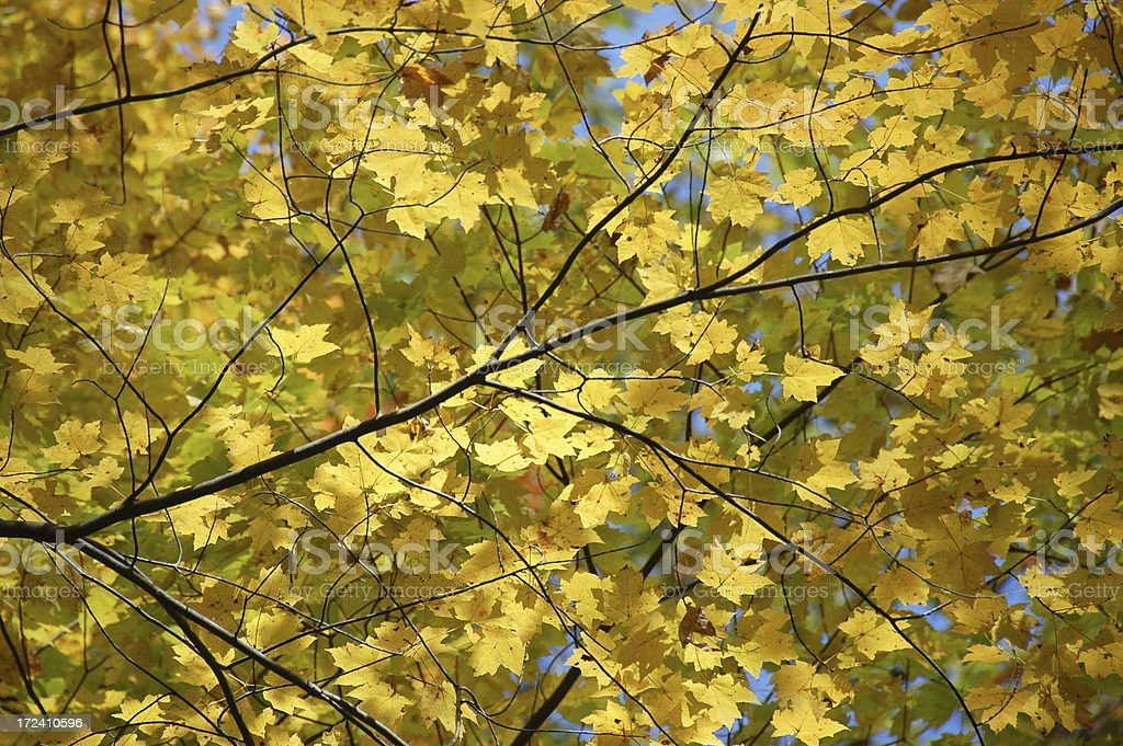 yellow leaves background royalty-free stock photo