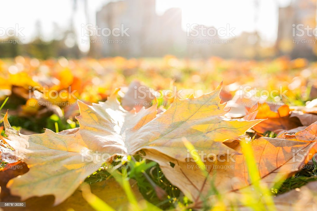 Yellow leaves in autumn park. stock photo